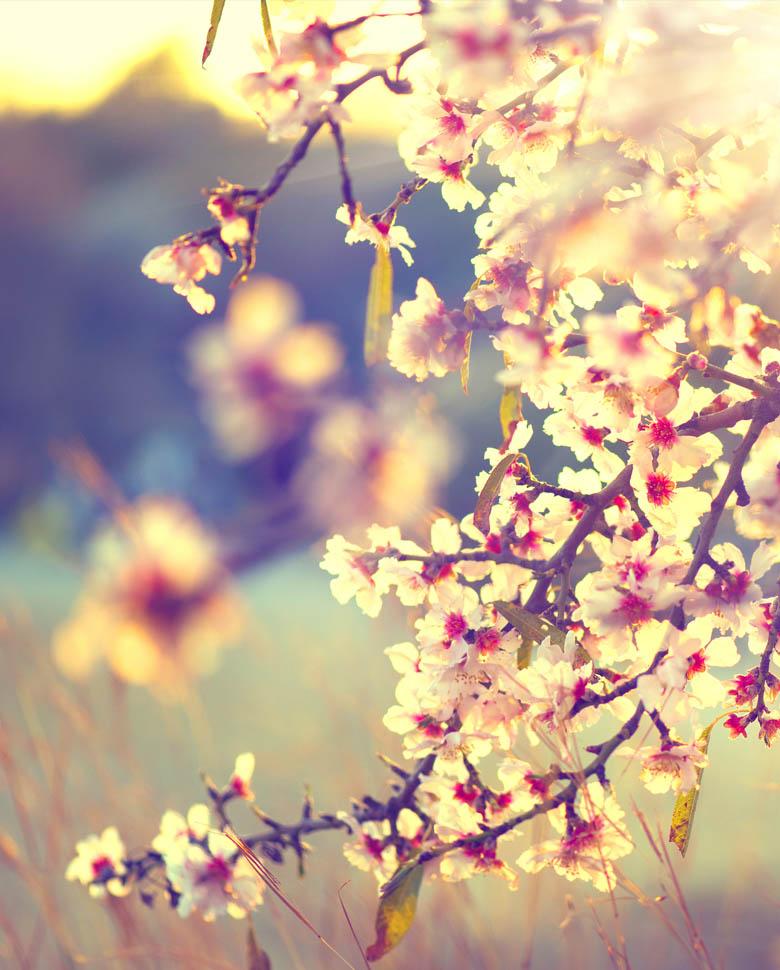 environnement-cerisiers-fleurs-cargaz